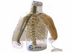 上臂肌肉注射及对比模型(警示系统)