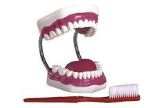 高级牙保健护理模型