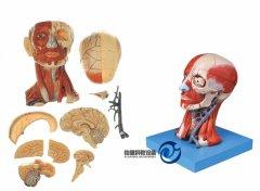 头颈部肌肉、血管附脑万博manbet官方