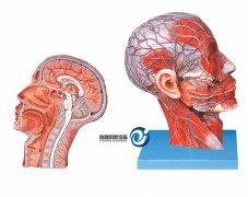 头部正中矢状切面附血管神经万博manbet官方