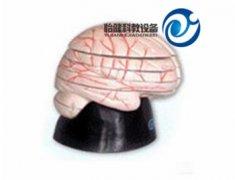 脑水平切面模型