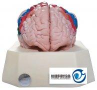 大脑皮质分区模型
