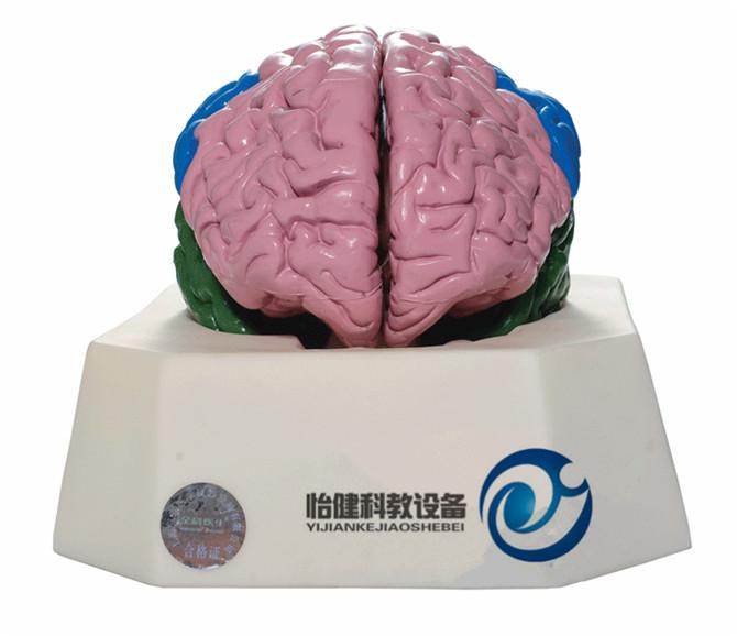 大脑分叶万博manbet官方