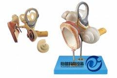 内耳、听小骨及鼓膜放大万博manbet官方