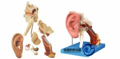 耳结构放大万博manbet官方