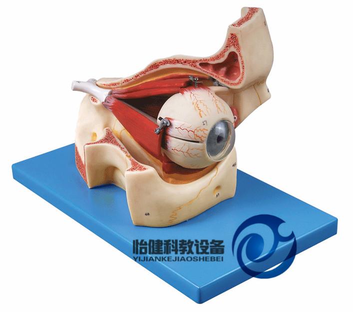 主页 产品展示 耳鼻喉眼模型 > 眼球与眼眶放大模型  jy/a17104  功能