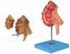 盲肠和阑尾万博manbet官方