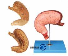 胃及剖面万博manbet官方