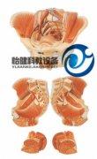 女性骨盆附生殖器官与血管神经万博manbet官方