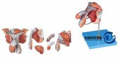 男性生殖器官结构模型