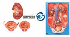 泌尿系统附腹后壁万博manbet官方