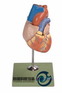 儿童心脏解剖放大万博manbet官方