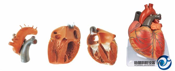成人心脏解剖放大万博manbet官方