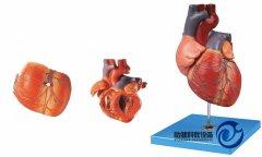 心脏解剖放大万博manbet官方