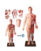 人体全身层次肌肉附内脏万博manbet官方