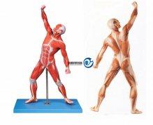 人体全身肌肉运动万博manbet官方