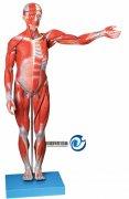 人体全身肌肉解剖万博manbet官方(缩小万博manbet官方)