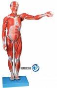 人体全身肌肉解剖万博manbet官方(自然大)