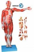 人体全身肌肉附内脏模型(自然大)