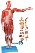 人体全身肌肉附内脏万博manbet官方(缩小万博manbet官方)