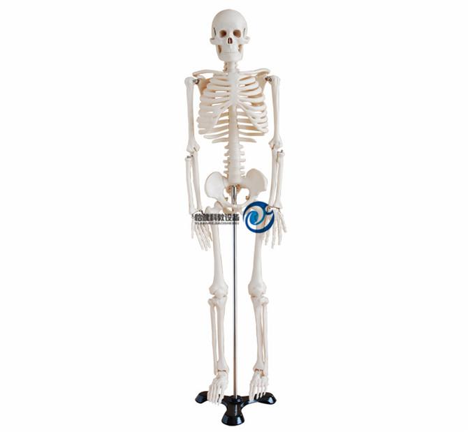 人体骨骼万博manbet官方85CM