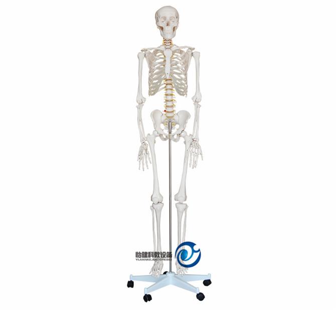 人体骨骼万博manbet官方180CM
