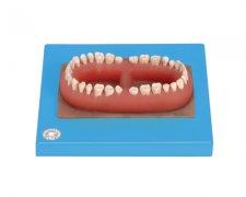 成人牙模型总汇(32颗牙)